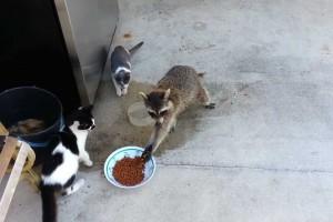 猫の餌を盗むアライグマ、手を洗いながら食べる姿が…